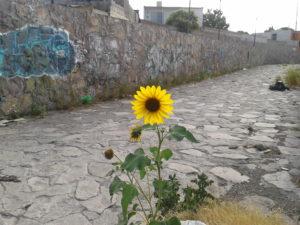 flor_amarilla_en_canal_calles_de_chihuahua